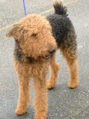 Rehomed Airedale